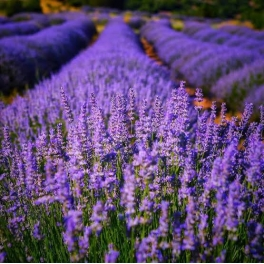Lavanta Bitkisinin Faydaları ve Sağlığımıza Etkisi Nelerdir ?