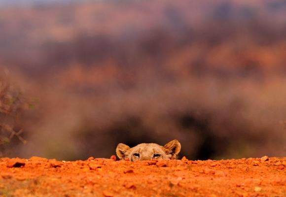 Manzara Fotoğrafları Yavru Kaplanın Ürkekliği
